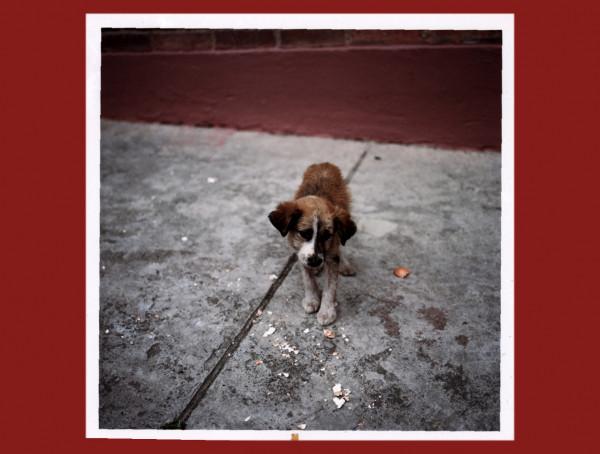 untited Bogota Dog